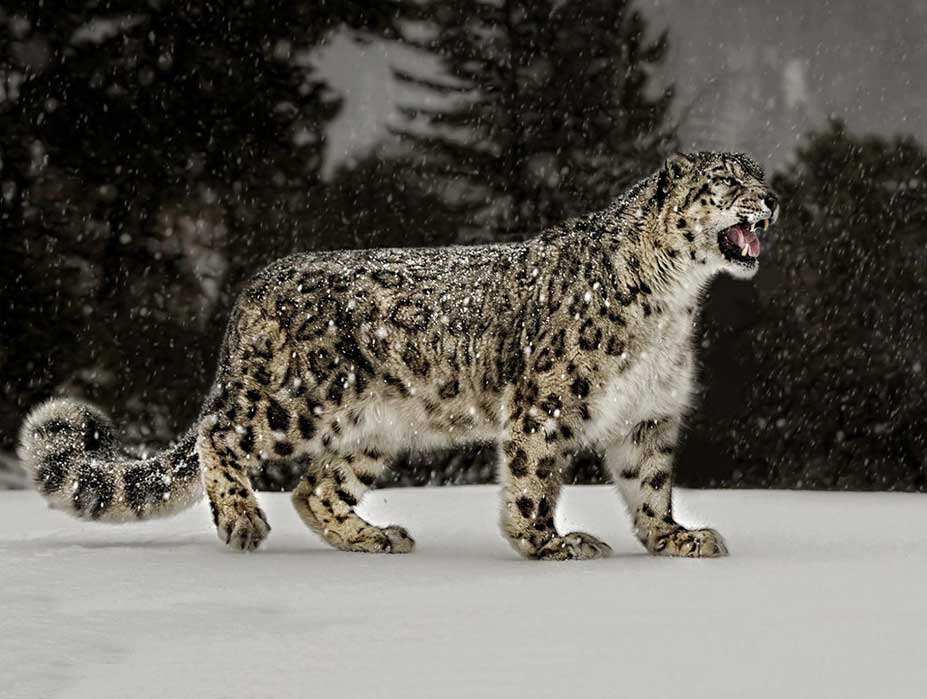Snow Leopards Himalayas Photography