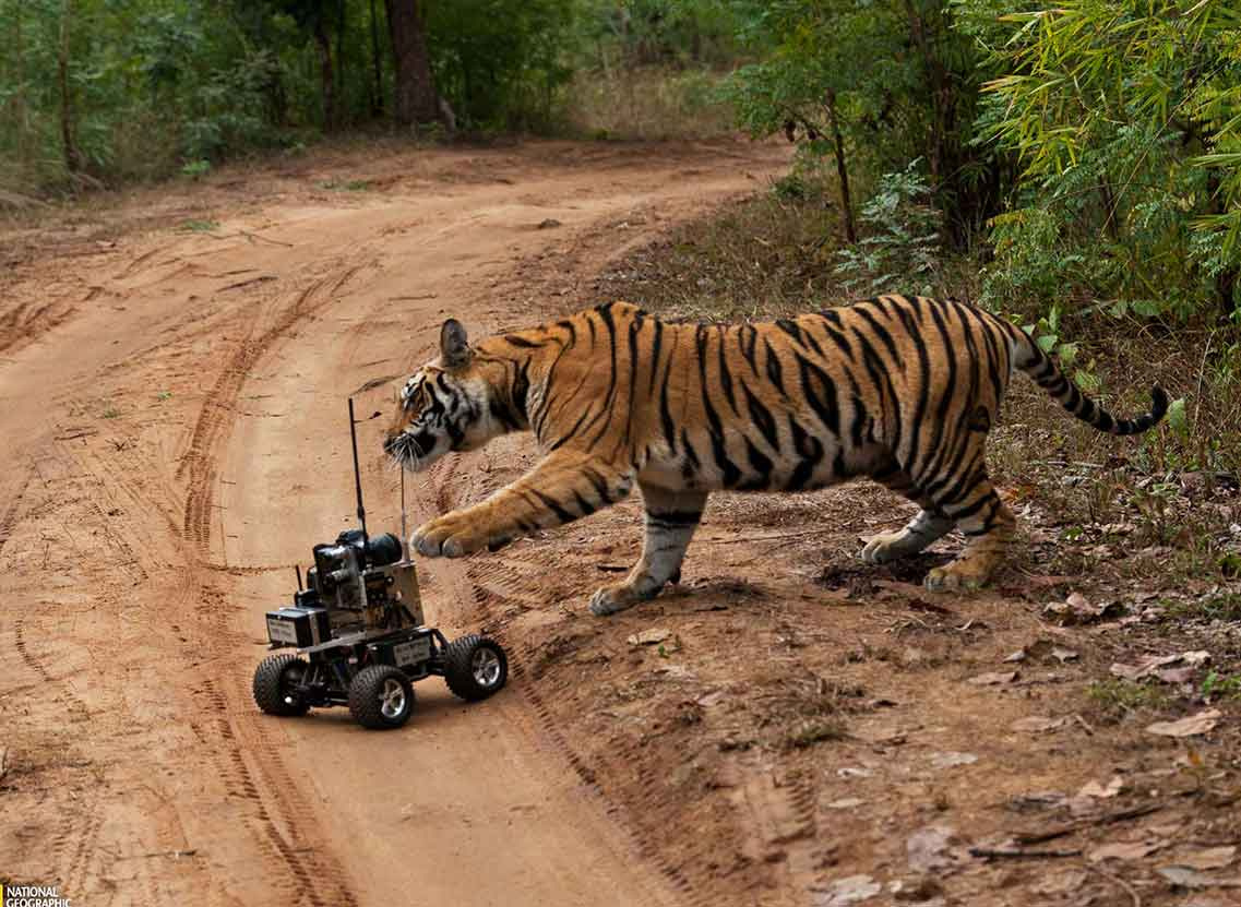 Tiger Damaging Camera Remote